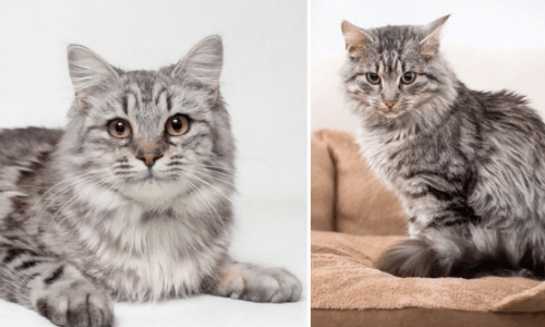 The Medium Hair Cat Breed Come In A Variety Of Looks And